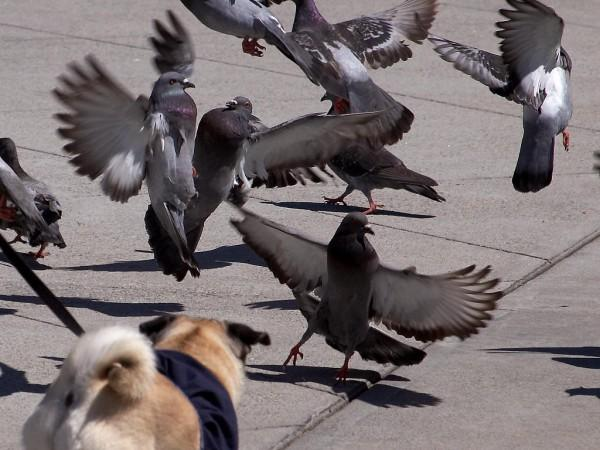 A flock of pigeons scatter quickly as a small dog approaches in the foreground. The pigeons fly off in all directions with their wings outstretched.