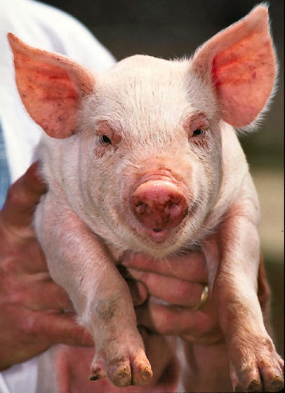 A close up photo of a cute looking piglet being held by a person.