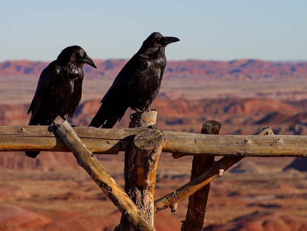Two scary looking black ravens stand on an old wooden fence with a blue sky in the background.