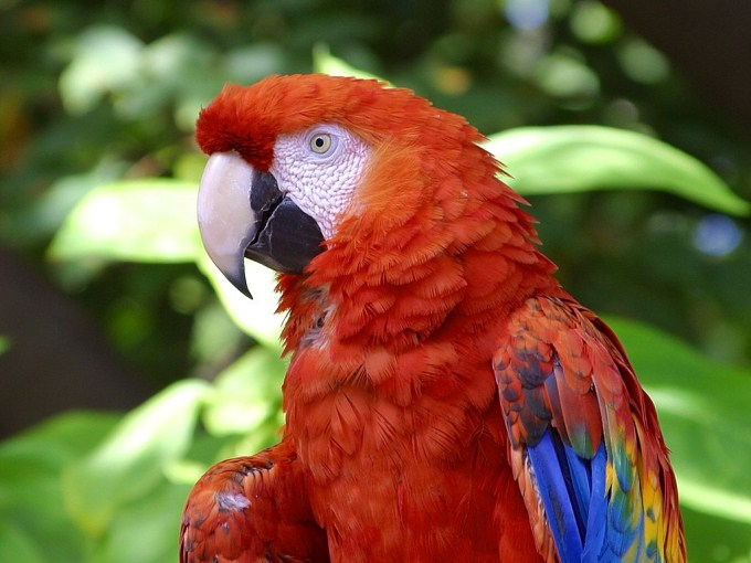 A close up photo of a bright and colorful Scarlet Macaw. The Scarlet Macaw is a large parrot native to the evergreen forests found in the American tropics.