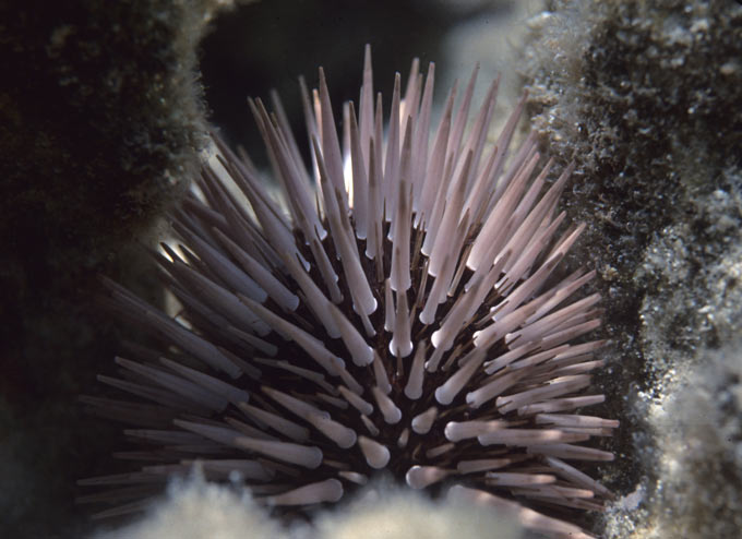 A close up photo of a sea urchin on Australia's Great Barrier Reef, off the coast of Queensland. Sea urchins are small marine animals with round, spiky shells.