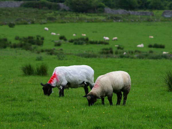 Two sheep are shown grazing in a field featuring lush green grass. There are more sheep visible in the image background.