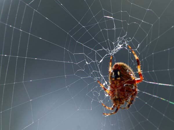 A close up photo of a spider as it weaves an intricate web which it hopes to catch small insects in.