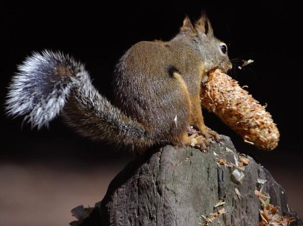 The squirrel pictured in this photo is eating while standing on top of a piece of wood. It has big eyes and a large bushy tail.