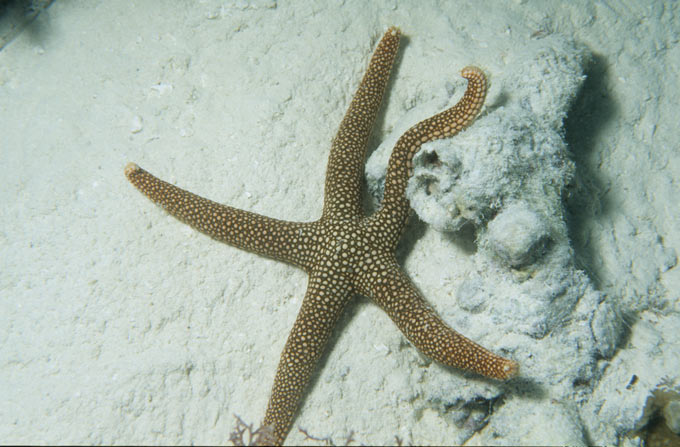 A brown and white spotted starfish on the Great Barrier Reef off the coast of Queensland, Australia. There are around 1800 different species of starfish (also known as sea stars) around the world. Some starfish species have the ability to grow back (regenerate) lost arms.