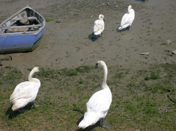 Four large white swans walk over the muddy ground on their way to the nearby waters edge. There is a boat on the left hand side of the photo.