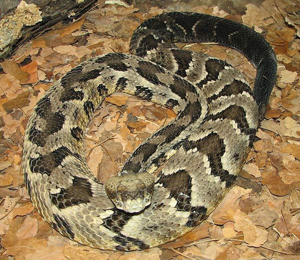 This photo shows a timber rattlesnake. Also known as crotalus horridus, the timber rattlesnake is a venomous pitviper.