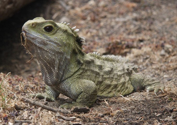 This photo shows a close up view of a tuatara. The tuatara is a reptile found in New Zealand. Although it looks like a lizard, it is actually the sole survivor of a group of reptiles that lived around 200 million years ago.