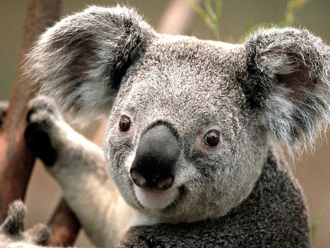 A close up photo featuring the face of an adorable young koala with big ears, tiny eyes and a cute nose.