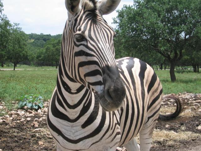 This photo shows a zebra with its signature black and white stripes as it looks towards the camera.