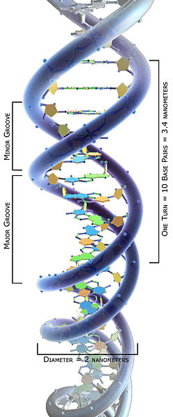 A 3D computer generated model of humans DNA structure. The double helix image labels base pairs, diameter, major and minor grooves.