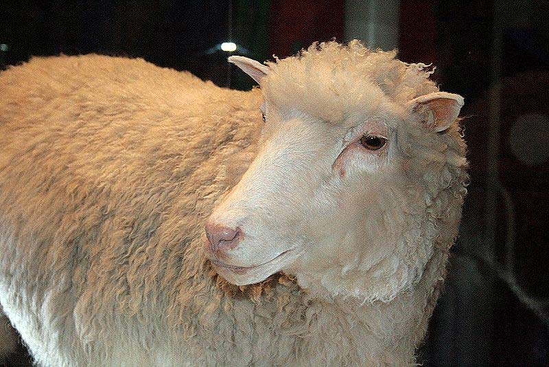 A photo taken in Scotland of Dolly the sheep. Dolly was famous for being one of the first cloned animals in the world.