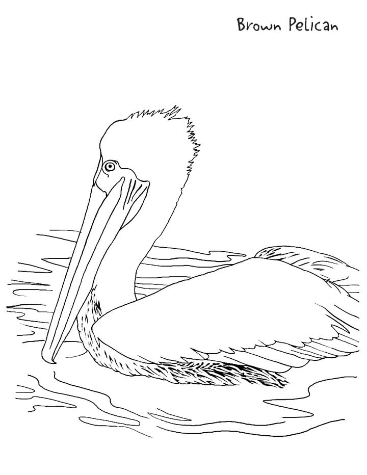 This Coloring Page For Kids Features A Brown Pelican Sitting In The Water.
