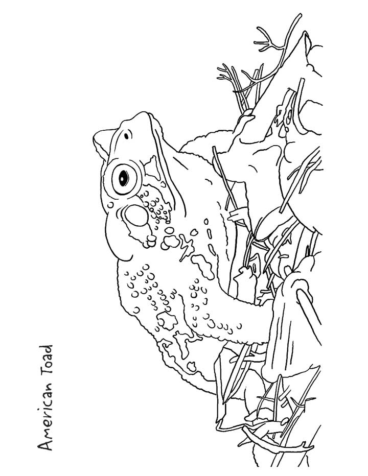 This Coloring Page For Kids Features An American Toad Add Color To Improve The Picture