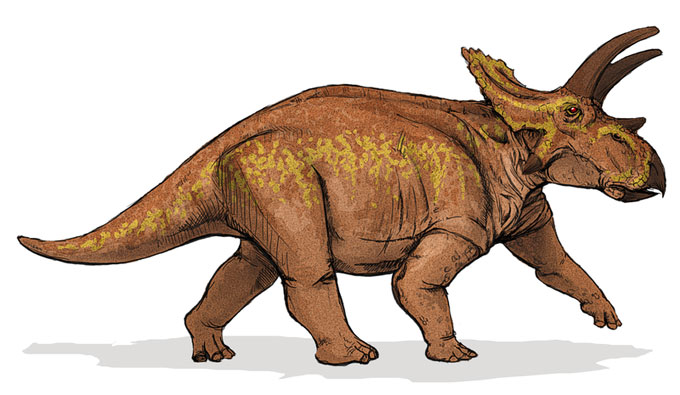 This drawing shows the possible appearance of Anchiceratops, a dinosaur from the late Cretaceous Period (around 70 million years ago). Anchiceratops was a herbivore (plant eater) that walked on four legs and featured three horns on its face (much like other Ceratopsids). Named in 1914, Anchiceratops reached up to 6 metres (20 feet) in length and lived in what is now western North America.