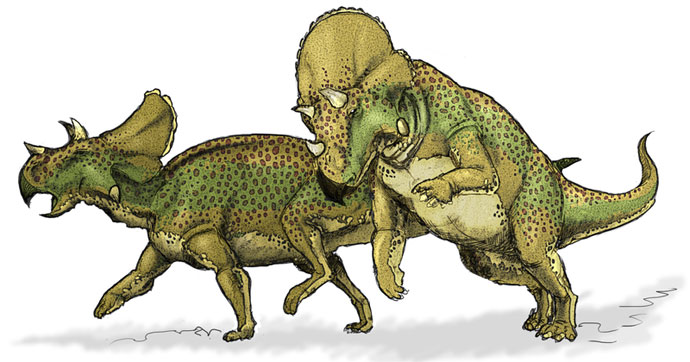 This drawing shows the possible appearance of Avaceratops, a dinosaur from the late Cretaceous Period. The first fossil remains of Avaceratops were found in 1981 in Montana, USA. Like other Ceratopsian dinosaurs, Avaceratops was a herbivore (plant eater).