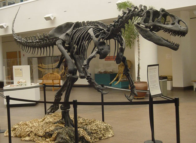 This picture shows a complete Allosaurus skeleton mounted in the San Diego Natural History Museum. Allosaurus lived in the late Jurassic Period (around 150 million years ago) and was one of the first dinosaurs known to researchers.