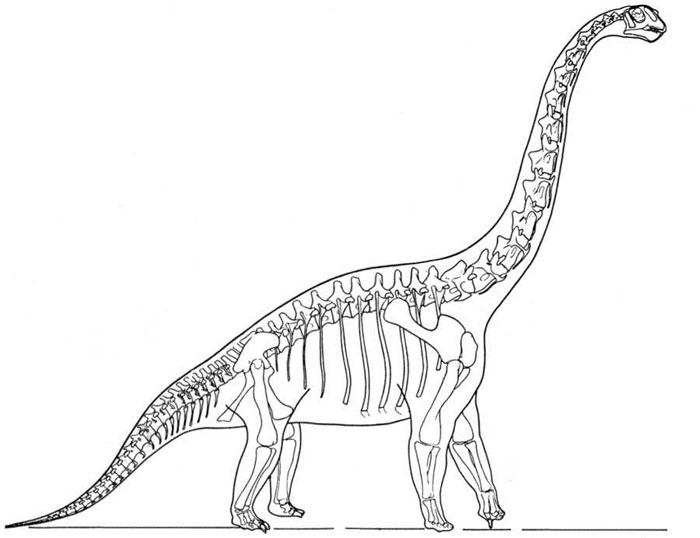 This picture shows a reconstruction of a Brachiosaurus skeleton. Brachiosaurus was part of a family of huge dinosaurs known as Sauropods, it reached around 26 metres (85 feet) in length and lived in North America.