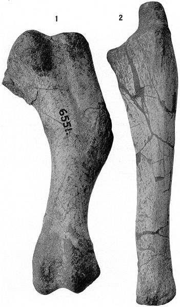 This picture shows two dinosaur leg bones. Figure 1 shows the right humerus of a Mandschurosaurus while figure 2 shows the right ulna of the same dinosaur. The photo was taken against a white background.