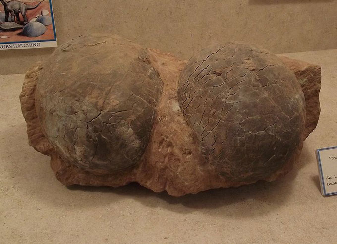 This picture shows a pair of fossilized dinosaur eggs. They were found in Kaoguo Formation, Henan, China and were photographed while on display at the San Diego County Fair, California, USA. Dinosaur eggs vary in size depending on the type of dinosaur with the largest found being up to 60 cm (2 feet) in length.