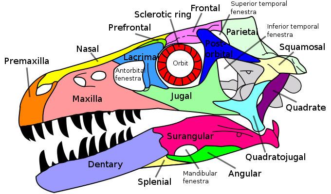 dromaeosaurus skull fossils & bones dinosaur pictures photos  : dinosaur diagram - findchart.co