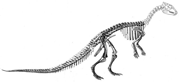 This picture shows a 1915 reconstruction of a Thescelosaurus skeleton by Charles Gilmore. Thescelosaurus was a small dinosaur from the late Cretaceous Period (around 65 million years ago). Scientists estimate that it grew up to 4 metres (13 feet) in length.