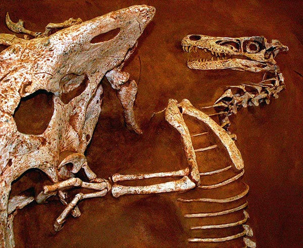 This picture shows a replica of an amazing fossil that captured a Velociraptor and Protoceratops fighting in the heat of battle. The fossil was discovered in 1971 in Mongolia and is considered a national treasure by the country.