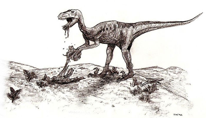 This sketch shows a Deinonychus feeding on the remains of another dinosaur or animal. Deinonychus reached around 3.4 metres (11 feet) in length and were from the same family of dinosaurs as the Velociraptor.