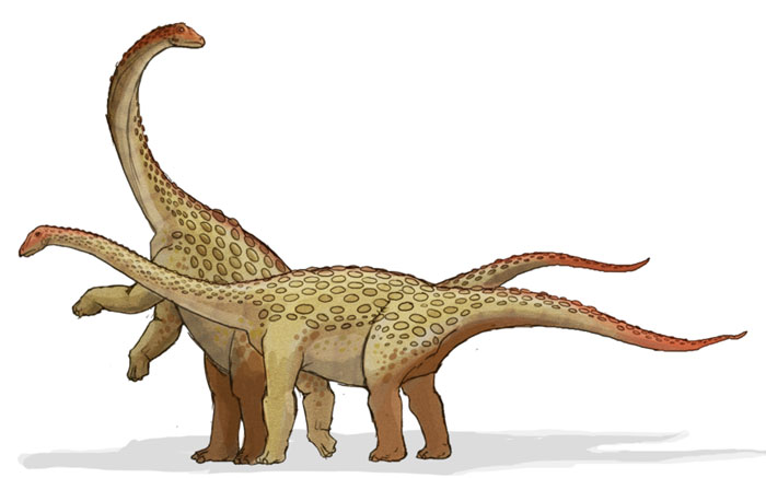 This drawing shows the possible appearance of Saltasaurus, a dinosaur from the late Cretaceous Period (around 70 million years ago). While Saltasaurus was a member of the huge Sauropod family, it was relatively small compared to others such as the Diplodocus and Apatosaurus. It featured small boney plates in its skin that acted as armor, was a herbivore (plant eater) and had an estimated length of a round 12 metres (39 feet).