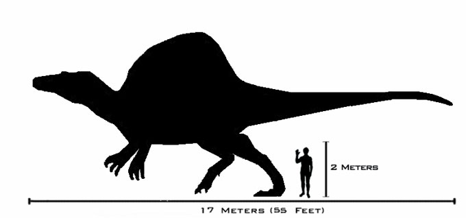 This picture shows a scale size comparison between a Spinosaurus and a human. The Spinosaurus was the largest meat eating (carnivorous) dinosaur of all time, weighing anywhere between 7 and 20 tons and possibly reaching up to 17 metres (55 feet) in length. For more information on this interesting dinosaur check out our Spinosaurus facts page.
