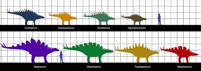 This picture shows a size scale comparison of different Stegosaurian species and a human. The measurement squares represent one metre. Some of the species pictured include Hesposaurus, Kentrosaurus, Huayangosaurus and Lexovisaurus.