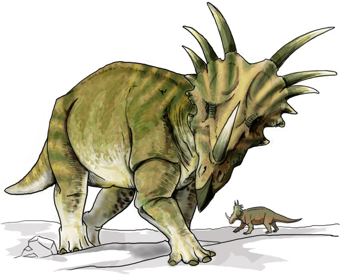 This drawing shows the possible appearance of Styracosaurus, a dinosaur from the late Cretaceous Period (around 75 million years ago). The name Styracosaurus means 'spiked lizard' and refers to the horns coming from its neck frill as well as the horns on its cheeks and larger horn coming from its nose, which could have been up to 60cm in length. Styracosaurus was a large, bulky dinosaur that ate plants (herbivore).