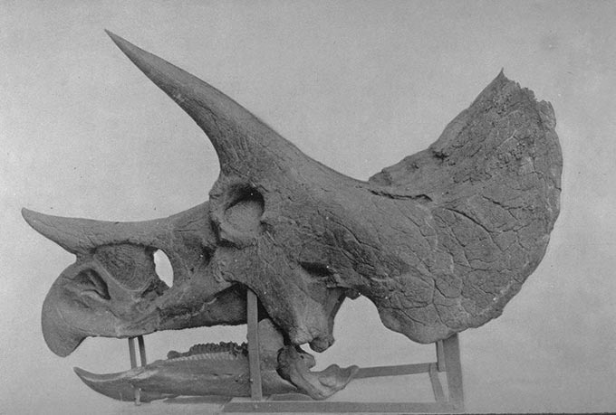 This old photo shows the side on view of a Triceratops skull fossil. The Triceratops distinctive horns and frill can easily be seen.