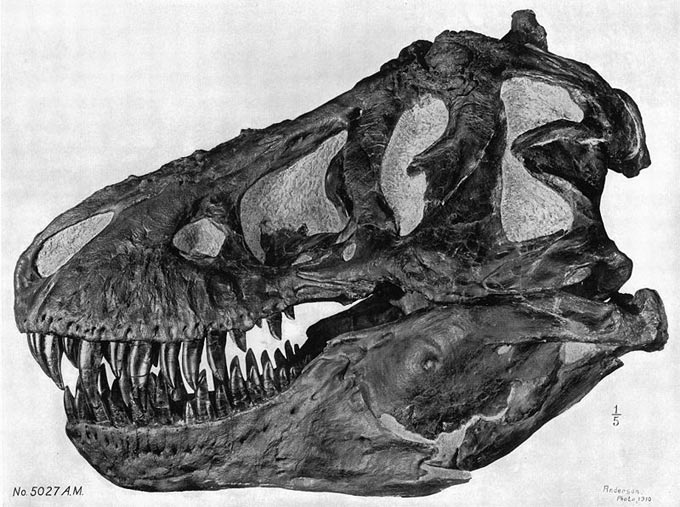 This picture shows a side on view of a Tyrannosaurus rex skull showing its razor sharp teeth and large jaw.