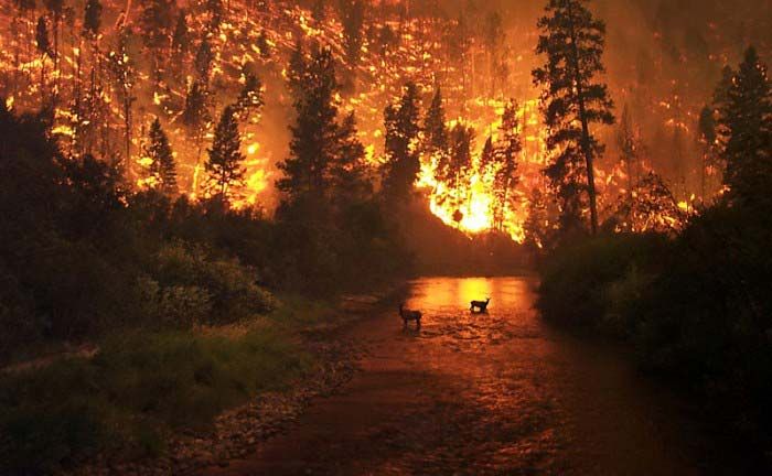 A huge forest fire rages in the background as two deer take refuge in a river.