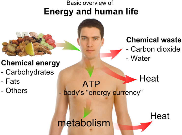This diagram shows a basic overview of energy and human life. It includes chemical energy, chemical waste, metabolism, heat and more.