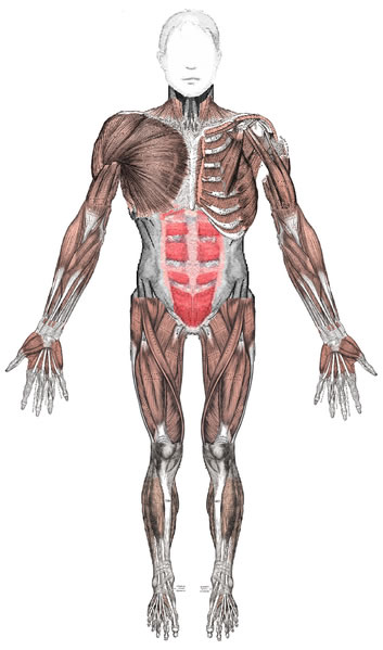 This diagram shows the anterior muscles of a fully extended adult  human body from a front on perspective