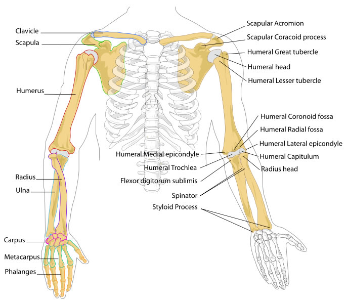 Arm Bones Diagram - Human Body Pictures - Science for Kids