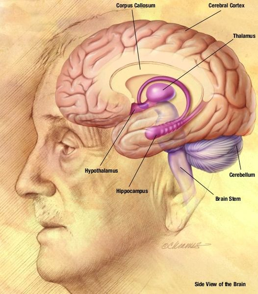 This brain drawing shows a side view of the brain inside the head  of a man. It points out important areas of the brain such as the corpus  callosum, cerebral cortex, thalamus, cerebellum, brain stem, hippocampus  and hypothalamus