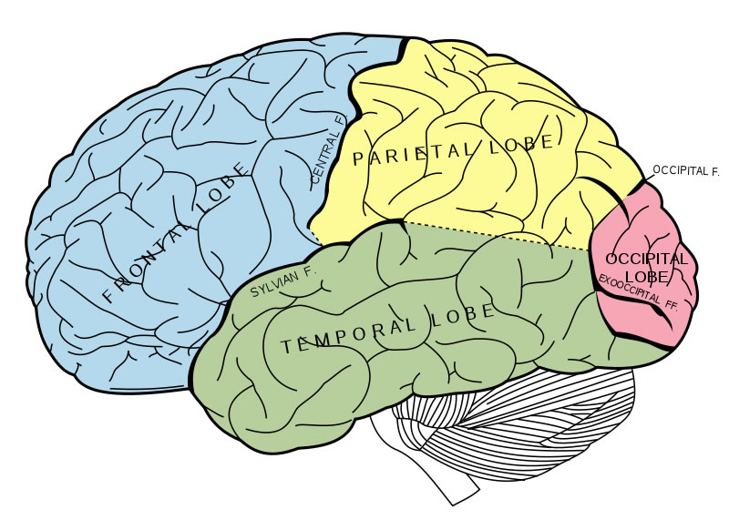 This cerebrum diagram labels important parts of the human brain  such as the frontal, temporal, parietal and occipital lobes. The diagram  is drawn in different colors to highlight the various areas of the  brain. The main fissures and lobes of the cerebrum are viewed laterally.  The image is taken from Grays Anatomy.