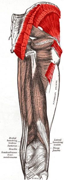 This image shows the gluteus muscles of the human body.