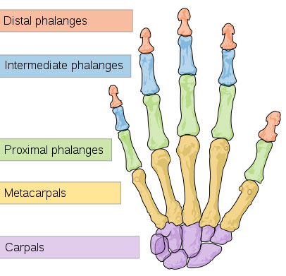 This picture shows the division of different bones in the human hand ...