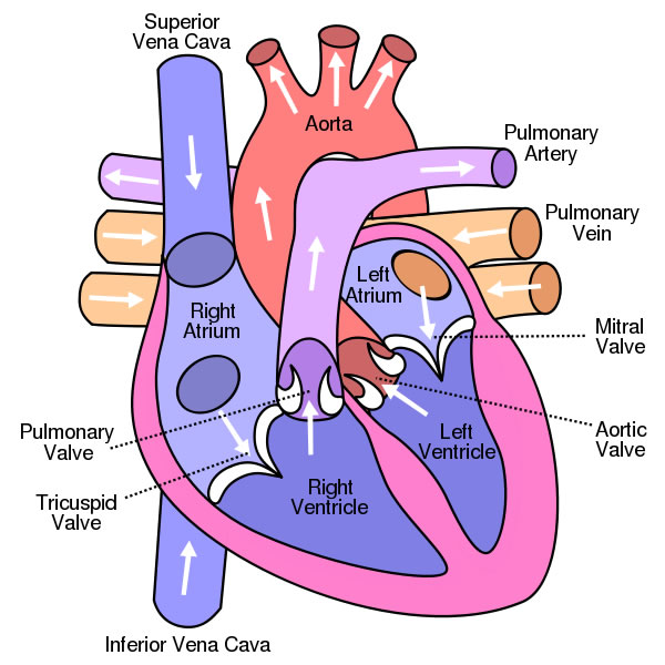 This is an excellent human heart diagram which uses different colors to show different parts and also labels a number of important heart component such as the aorta, pulmonary artery, pulmonary vein, left atrium, right atrium, left ventricle, right ventricle, inferior vena cava and superior vena cava among others.