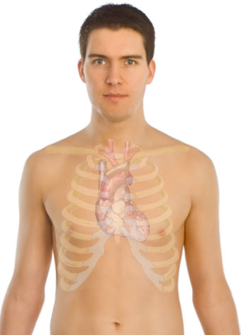 This image shows the heart surface anatomy of a male human body. This includes the rib cage that protects the human heart as well as the skin on the outer surface.