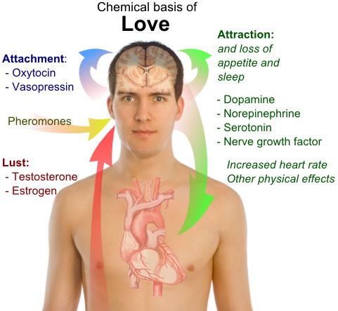 This diagram shows a simple overview of the chemicals of love. A  number of different chemicals are thought to be involved in this emotion  and they include testosterone, estrogen, pheromones and others.