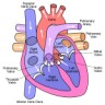 heart diagram