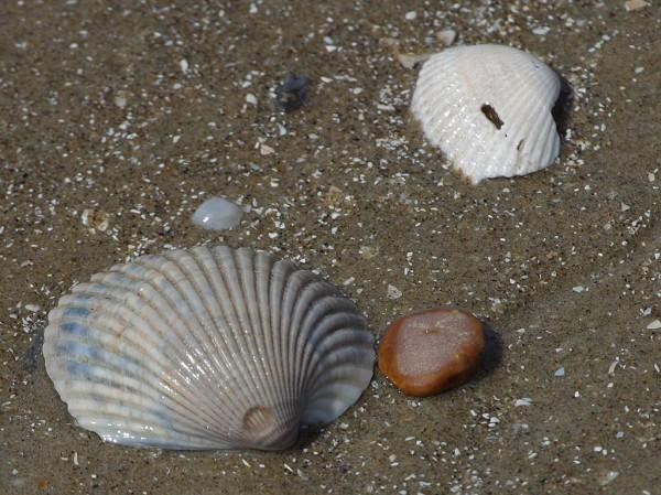 Two large beach shells can be seen on top of the wet sand at a beach.