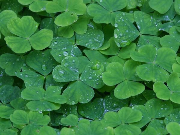 A large number of clover leaves stand bunched together on the ground. The three leaved clovers have a number of water droplets sitting on their surface after a light rain shower.