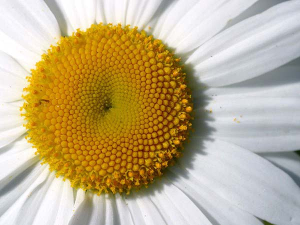 This extreme close up photo of a daisy gives a detailed view of the beautiful flower, with its delicate white petals fanning out from the center.