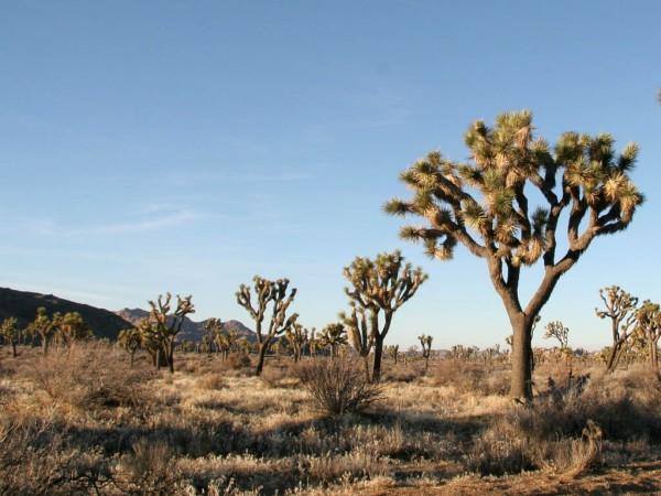 This photo shows a number of desert trees that are found living in the hot, harsh, desert environment.